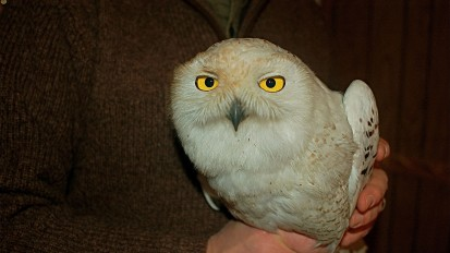 Outdoors Maryland: Snowy Owl